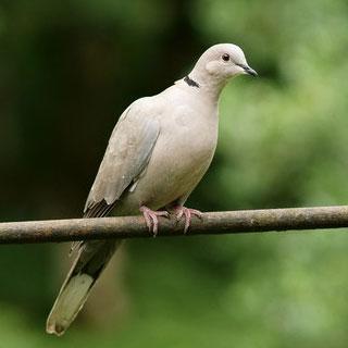 Doves (Y3/4)