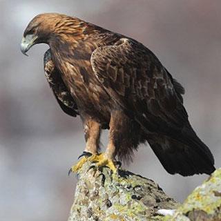 Eagles (Y6)
