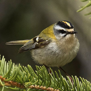 Goldcrests (Communication & Interaction Class)