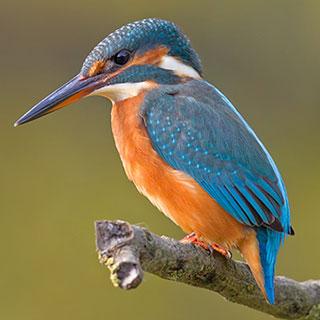 Kingfishers (Y3/4)